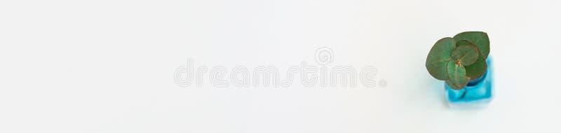 Det långa banret med silverdollareukalyptuns fattar i blå glasflaska på vit bakgrund Kopieringsutrymme för bästa sikt Wellnessbru royaltyfri bild