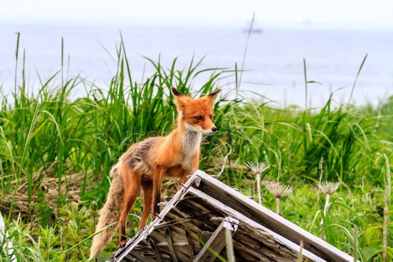 Det lösa för Vulpesvulpes för röd räv anseendet för beringiana fördärvar på av byggnad Kamchatka halvö, Ryssland arkivbild