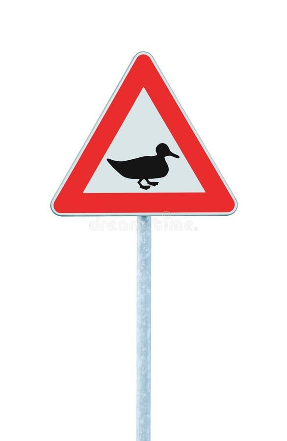 Det lösa fjäderfä Duck Crossing Ahead Warning Traffic vägmärket, den stora detaljerade isolerade vägrenen akta sig av closeupen f royaltyfria foton