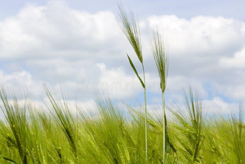 Det lösa kornfältet i en solig och blåsig dag, den skakade växten, fördunklar på blå himmel fotografering för bildbyråer