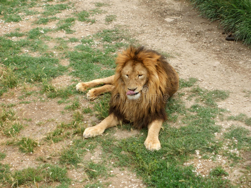 Det lösa lejonet royaltyfria foton