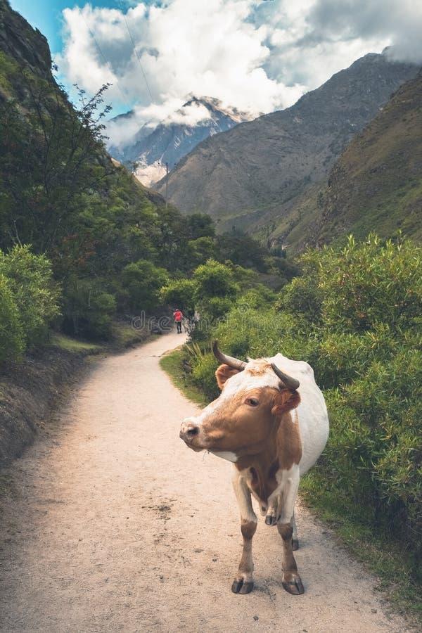 Det lösa nötkreaturet, när passera till och med Inca Trail arkivbilder