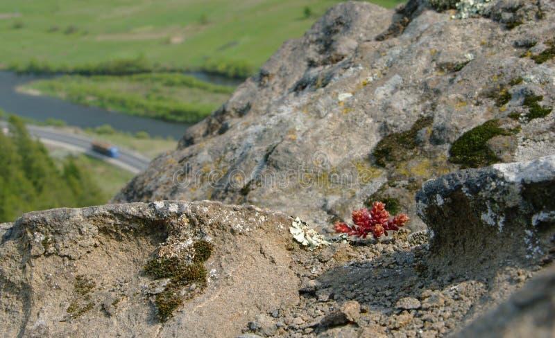Det lilla berget vaggar växten fotografering för bildbyråer