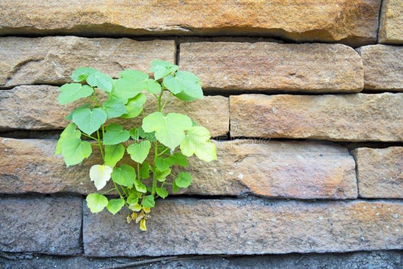 Det lilla bo-trädet växer vid väggen royaltyfri fotografi