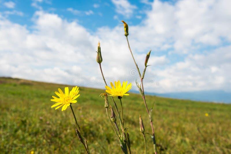Det lilla gula slutet för den höstblommaScorsonera canaen sköt upp, härlig blå himmel fotografering för bildbyråer