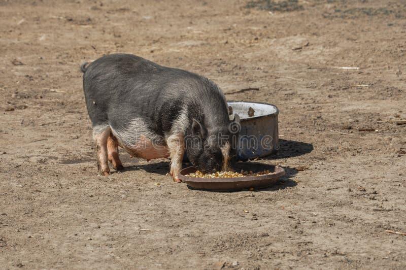 Det lilla svinet äter mat i gården royaltyfri fotografi