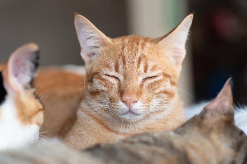 Det ljust rödbrun kattslutet synar och sova med andra katter arkivfoto