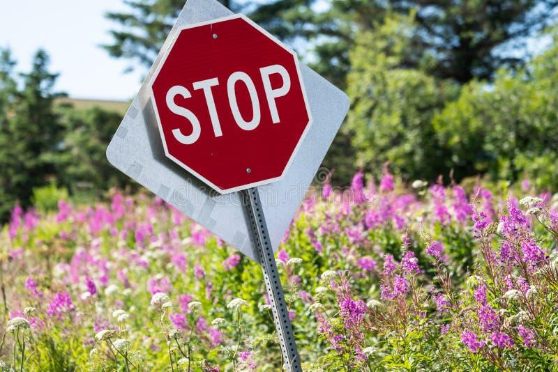Det lutade stoppet undertecknar in ett fält av mjölkörtvildblommor fotografering för bildbyråer