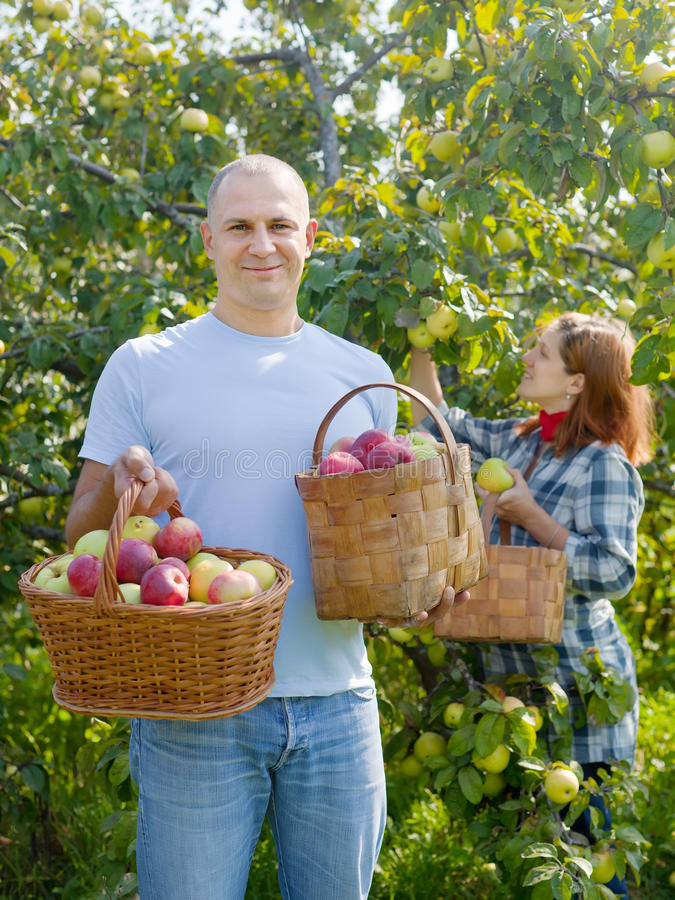 Det lyckliga paret samlar äpplen fotografering för bildbyråer