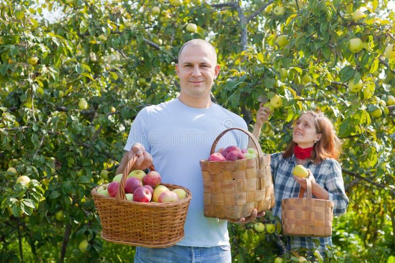 Det lyckliga paret väljer äpplen arkivbild