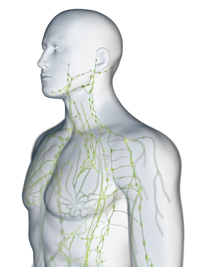 Det lymfatiska systemet av övrekroppen stock illustrationer