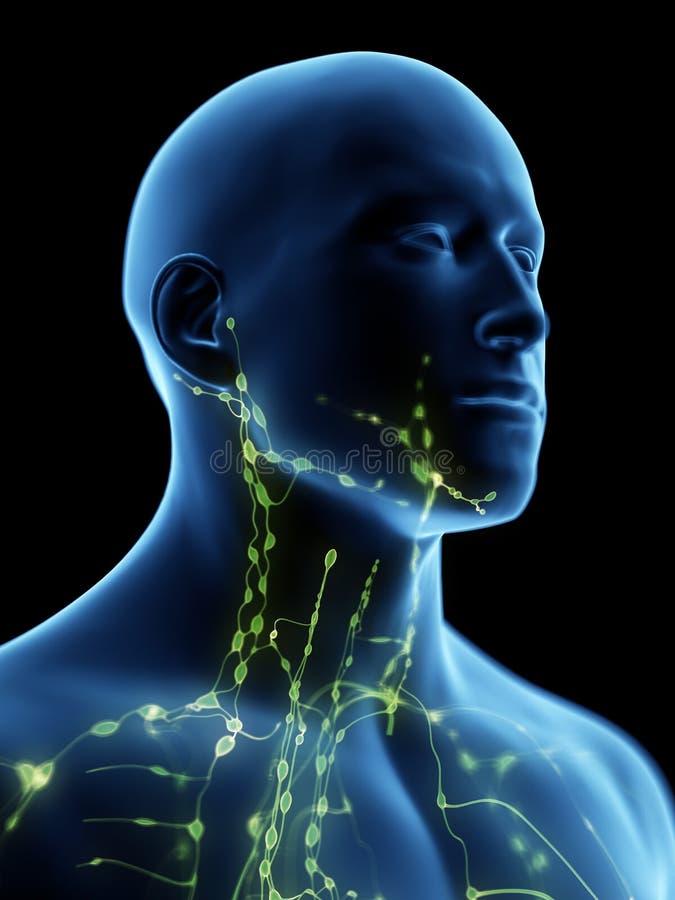 Det lymfatiska systemet av halsen vektor illustrationer