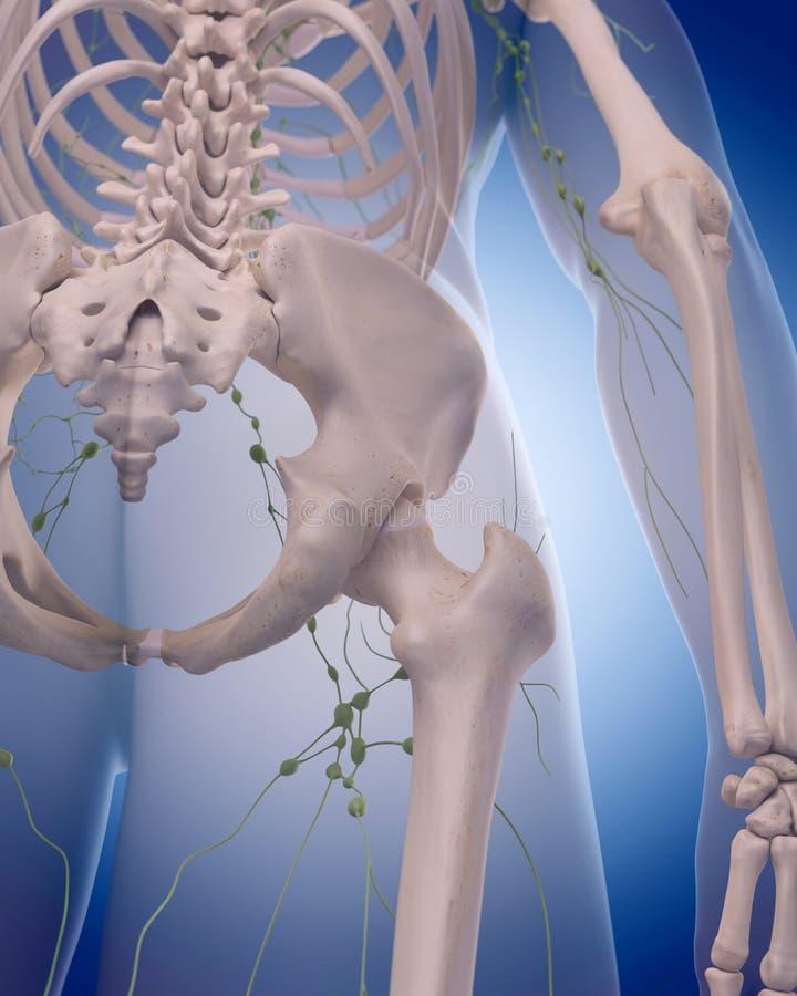 Det lymfatiska systemet - benet royaltyfri illustrationer