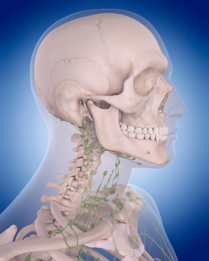 Det lymfatiska systemet - halsen vektor illustrationer
