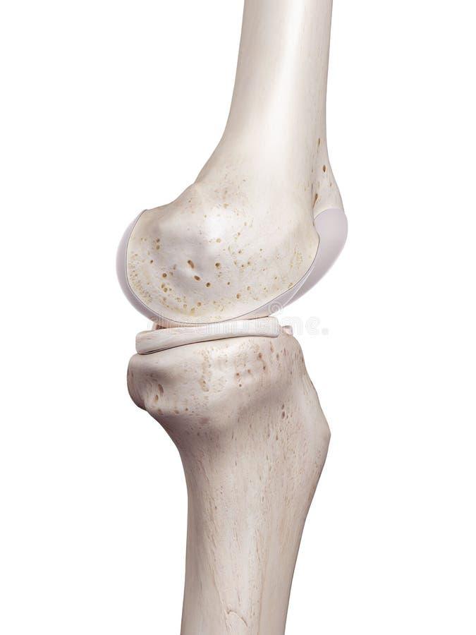 Det mänskliga knäet royaltyfri illustrationer