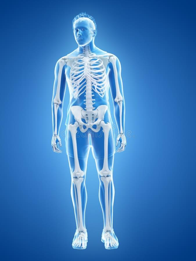 Det mänskliga skelett- systemet royaltyfri illustrationer