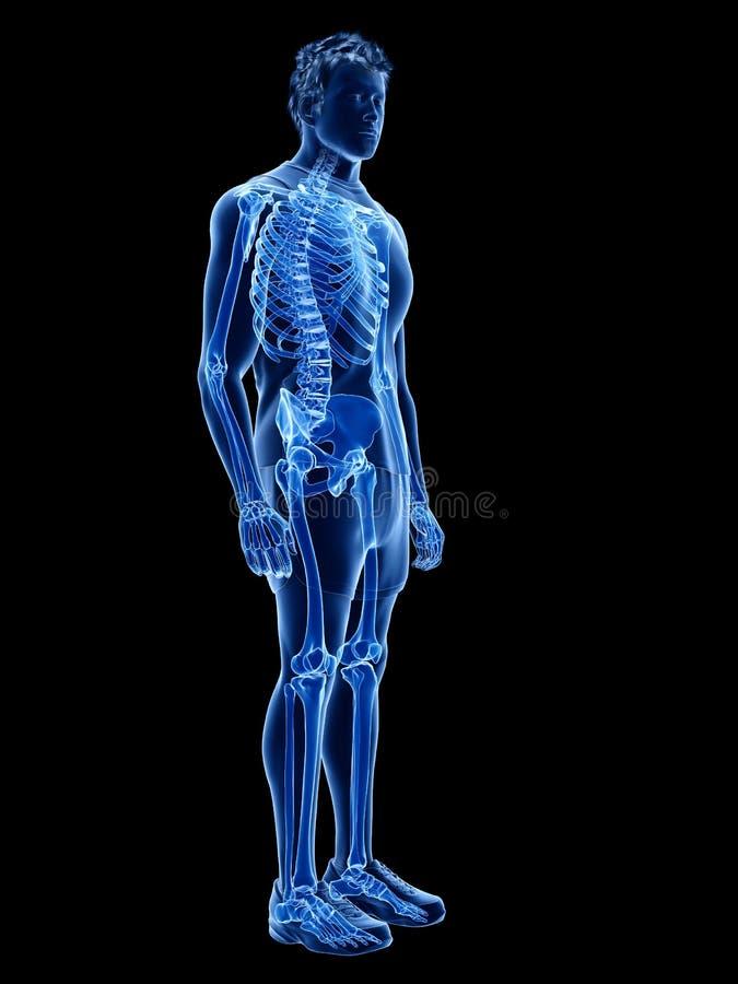 Det mänskliga skelett- systemet vektor illustrationer