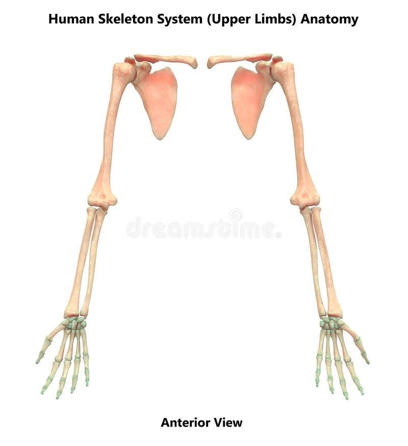 Det mänskliga skelett- systemet som övrelemben räcker, fogar ihop anatomi vektor illustrationer