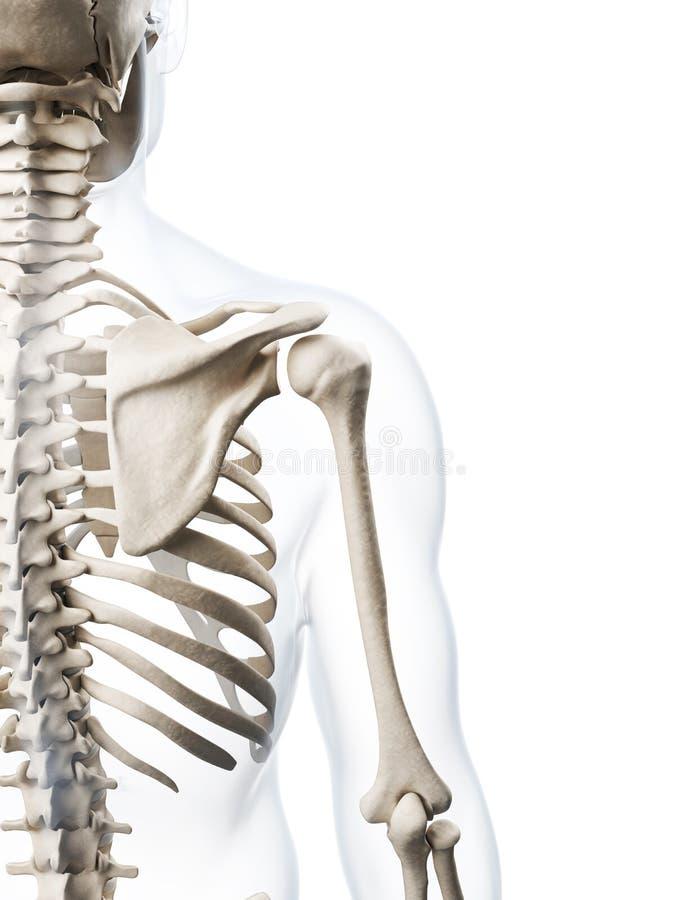 Det mänskliga skelettet stock illustrationer