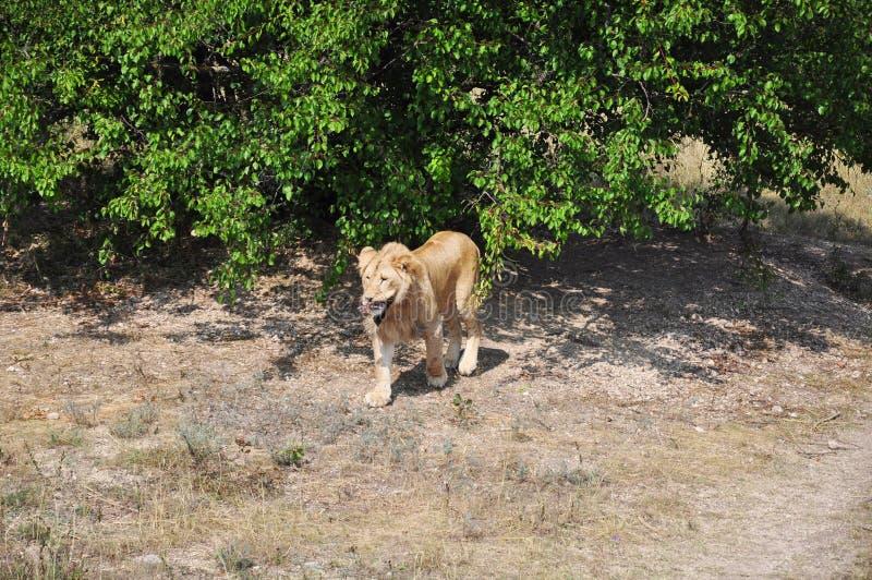 Det manliga lejonet bär ett stycke av nytt kött i tänderna royaltyfri fotografi