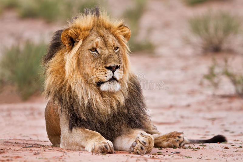 Det manliga lejonet lägger i kgalagadi arkivfoton