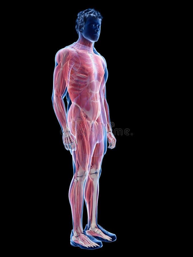 Det manliga muskelsystemet royaltyfri illustrationer