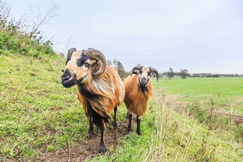Det manliga och kvinnliga Kamerunfåret betar in landskap royaltyfri fotografi