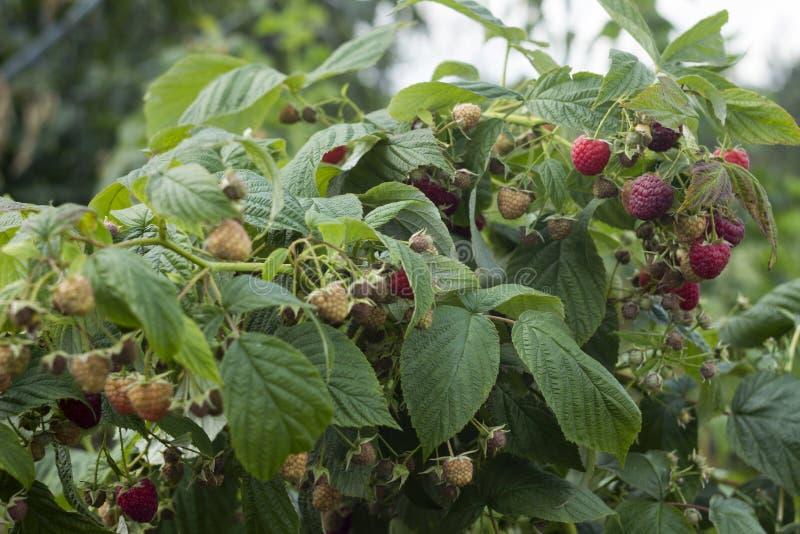 Det mogna röda hallonet växer i trädgården, användbar frukt, bäret Bush, bakgrund royaltyfria bilder