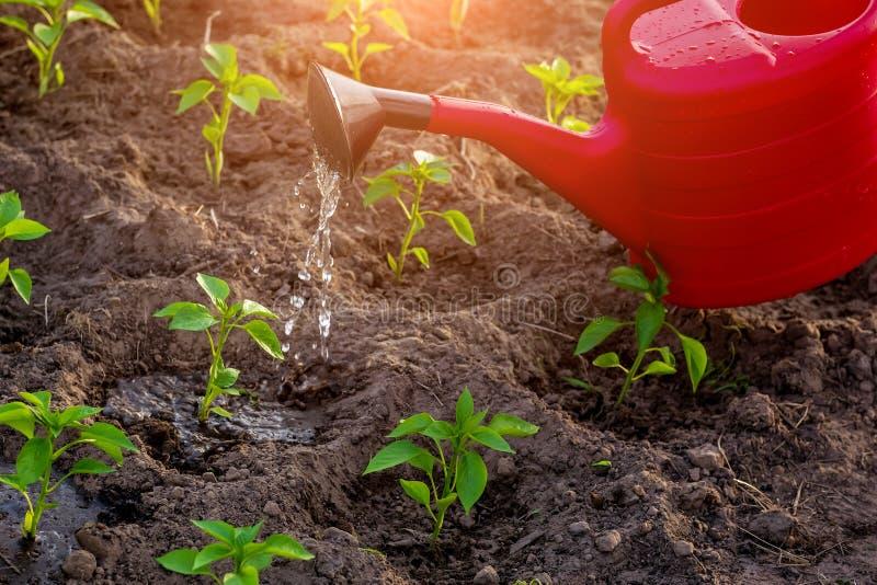 Det naturliga lantbruket som bevattnar unga peppar med vatten fr?n bevattna kan royaltyfria bilder