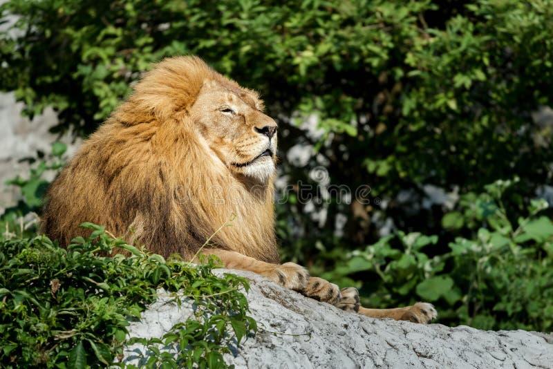 Det nobla lejonet för den vuxna mannen som vilar på stenen, vaggar på grön buskebakgrund arkivbild