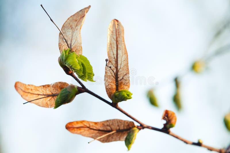 Det nya nya gröna trädet lämnar att växa nära gammalt arkivfoto