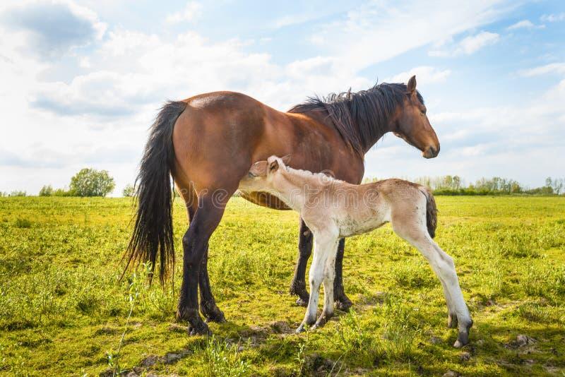 Det nyfödda fölet suger mjölkar från hennes moder royaltyfria bilder