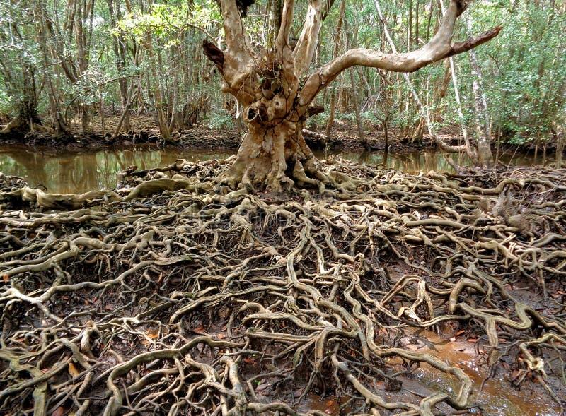 Det oerhörda trädet rotar i mangroveskogen av det Trat landskapet royaltyfri bild