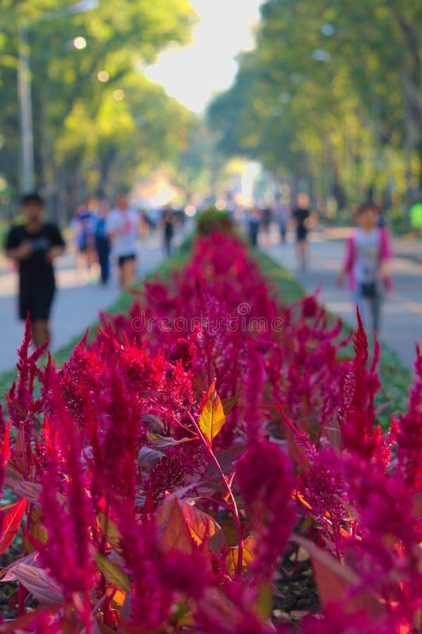 Det oskarpa folket köra åt sidan stunningly härliga röda blommiga buskar med det glödande orange bladet, i ett thailändskt parker royaltyfri foto