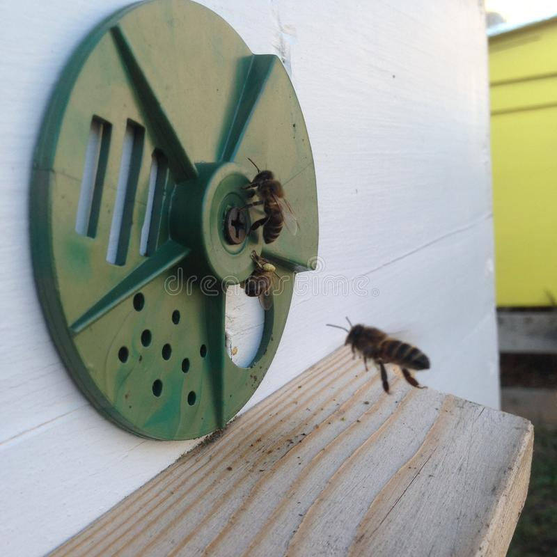Det påskyndade biet flyger långsamt till nektar för bikupan mot efterkrav för honung på den privata bikupan från blomman fotografering för bildbyråer