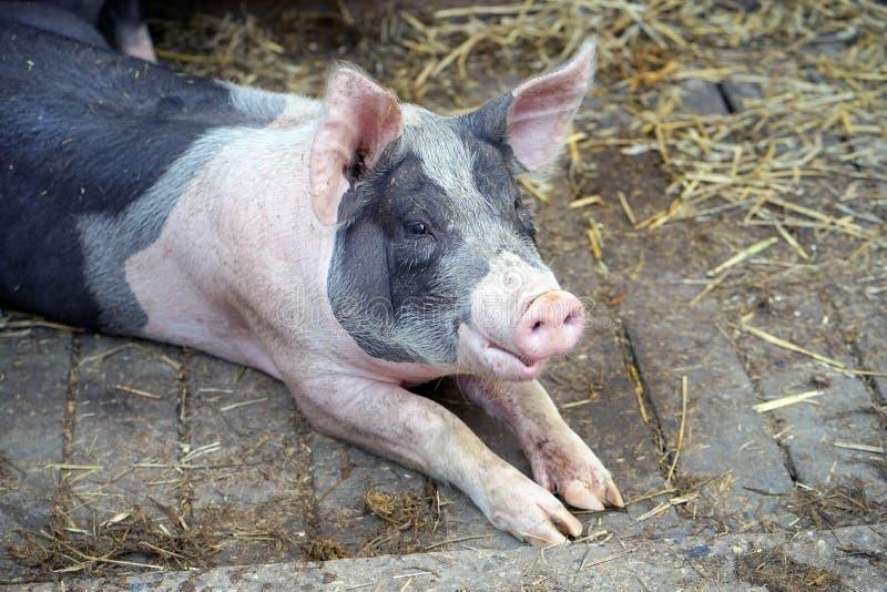 Det piggy svinet på lantgården Svinet ligger på sugröret arkivfoton