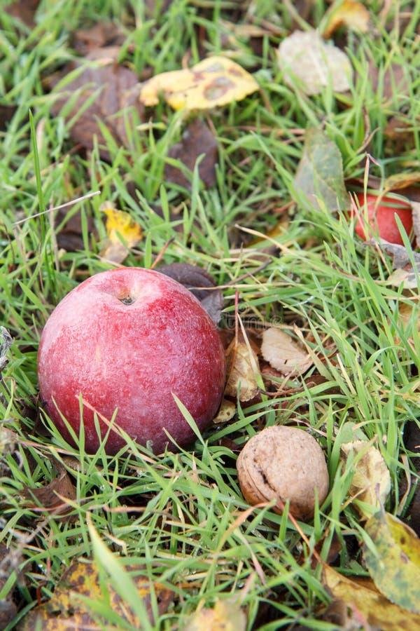 Det röda äpplet och valnöten lägger på jordningen i gräs och torra höstsidor royaltyfri fotografi