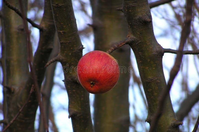 det röda äpplet single royaltyfria bilder