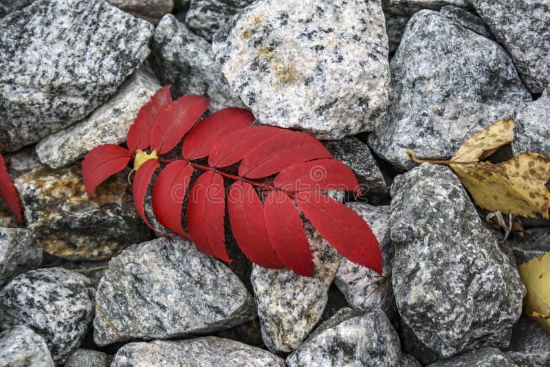 Det röda höstbladet ligger på de gråa stenarna royaltyfria bilder