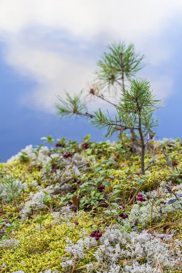Det röda tranbärbakgrundsbäret bland mossa och små sörjer på klippan fotografering för bildbyråer