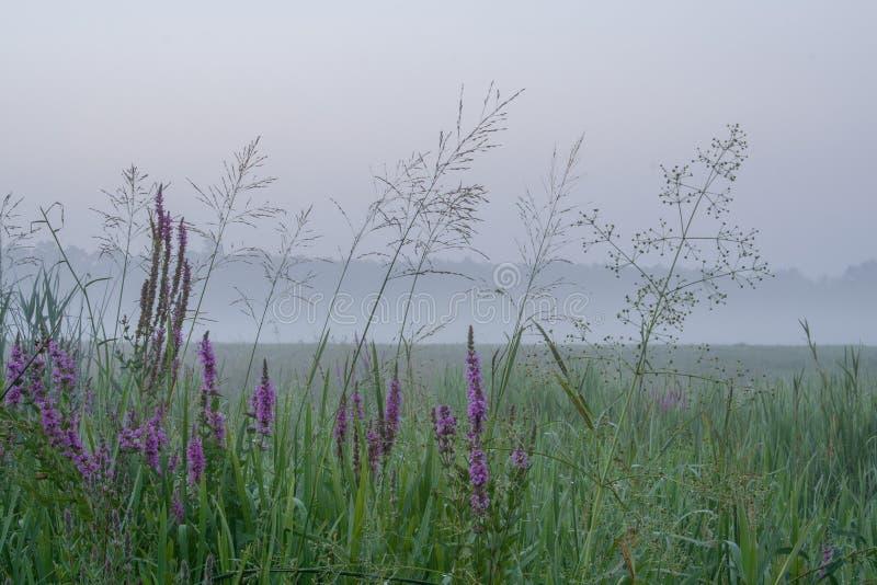 Det Rogalin landskapet parkerar - högväxt gräs och blommor på äng i misten för soluppgång arkivbild