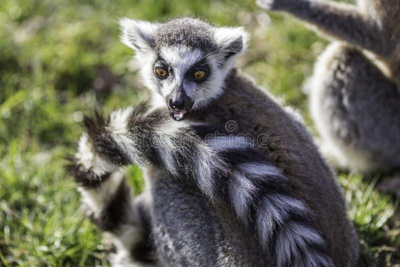 Det roliga djuret förvånade uttryck från en chockad cirkel-tailed lem royaltyfri bild
