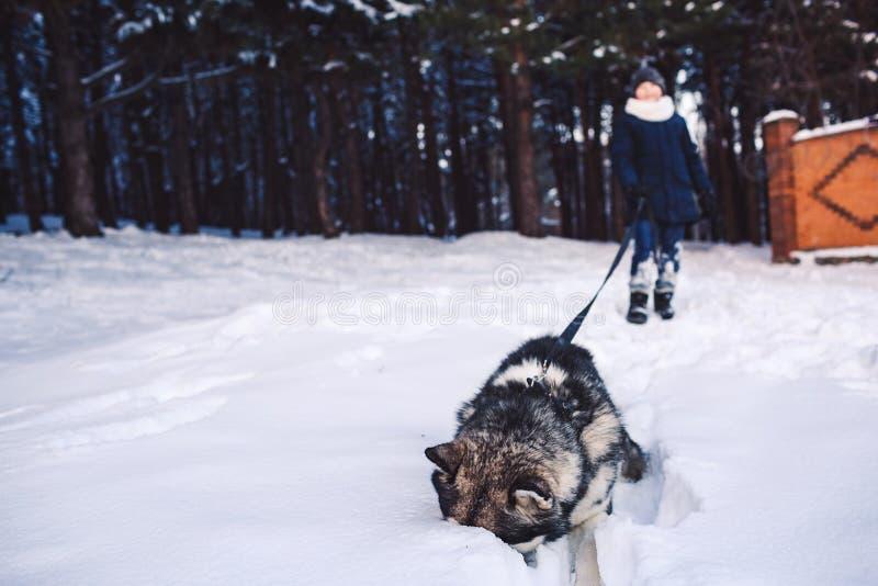 Det roliga fotoet som en hund och en pojke som spelar i vintern i den alaskabo malamuten för skogen, klibbade hans näsa i snön arkivfoto