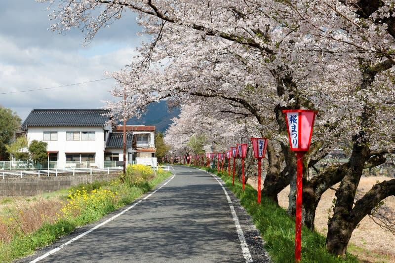 Det romantiska rosa körsbärsröda trädet Sakura blomstrar och lampstolpar för japansk stil längs effekt för bakgrund för landsväg  royaltyfria foton