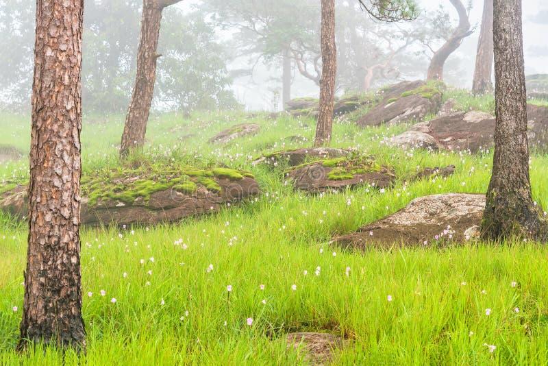 Det rosa blommafältet med den gröna ängen och mossa vaggar i pinjeskog täcktes av morgondimma Bolaven platå som är sydlig av Laos fotografering för bildbyråer