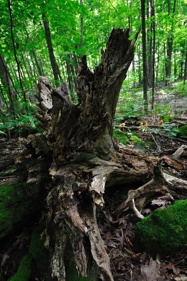 Det ruttna trädet rotar fotografering för bildbyråer
