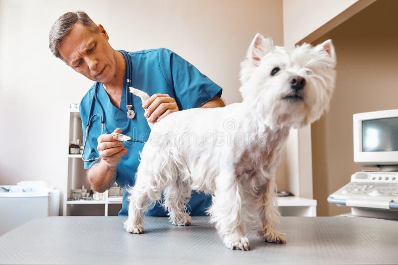 Det ska ta några minuter Mitt åldrades den manliga veterinären i arbetande kläder mäter kroppstemperatur av den gulliga lilla hun arkivbilder