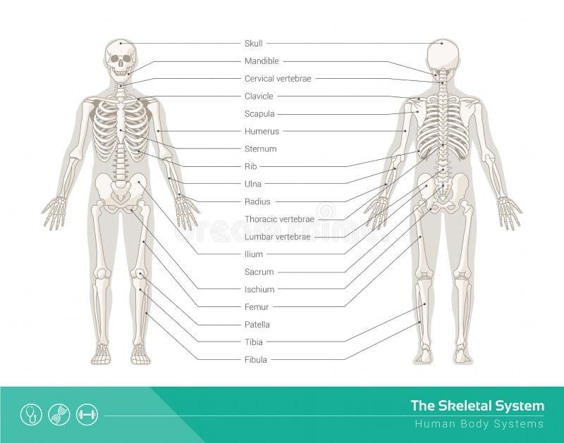 Det skelett- systemet royaltyfri illustrationer