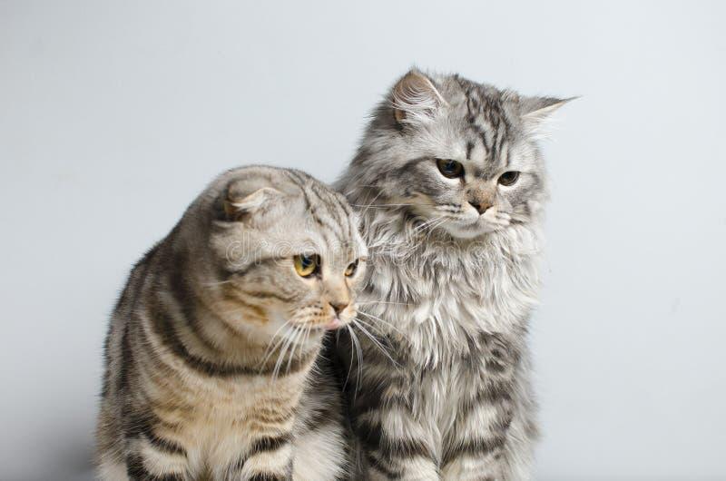 Det skotska vecket och den skotska ursprungliga katten sitter gulligt på en vit royaltyfria bilder