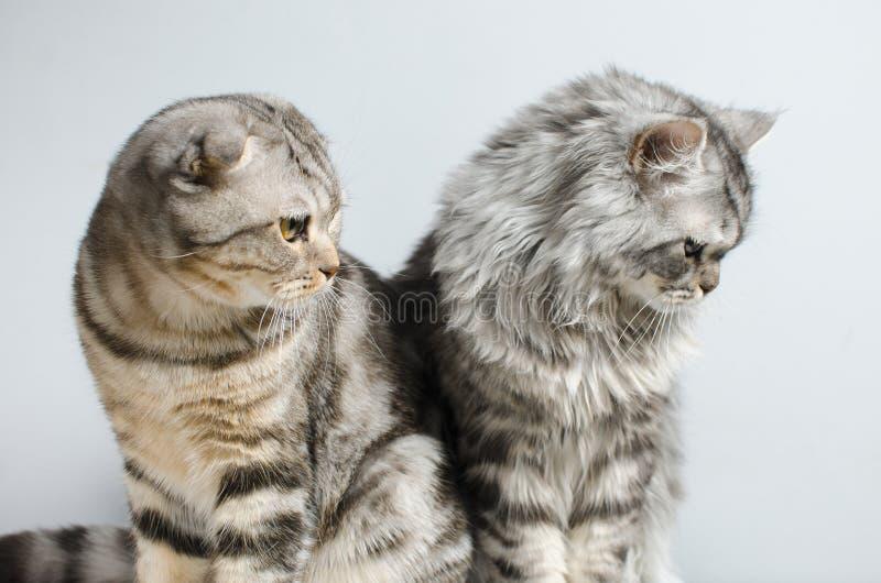 Det skotska vecket och den skotska ursprungliga katten sitter gulligt på en vit arkivbild